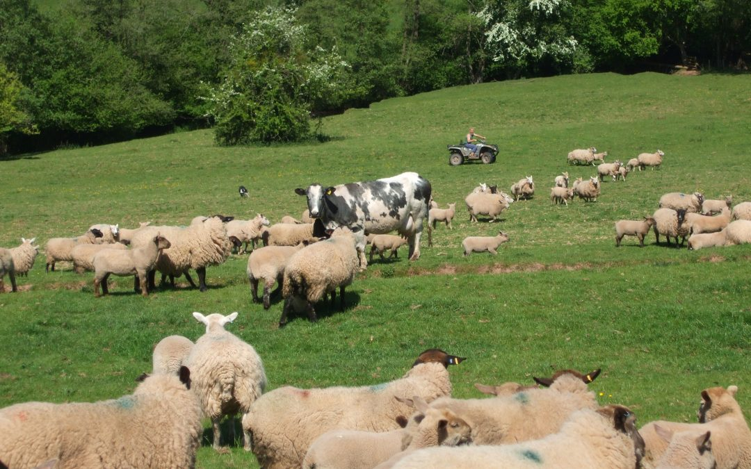 Sheep farming crisis